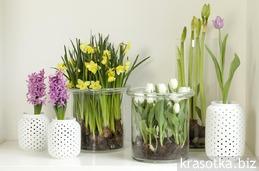 Луковичные сорта  цветов для дома